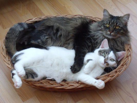 Мейн кун с обычной кошкой