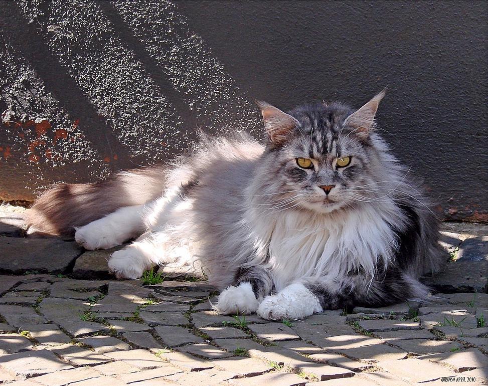 Мейн-кун отдыхает на улице
