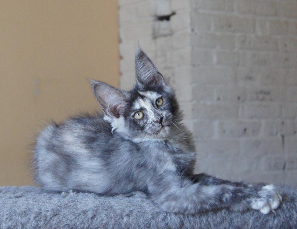 Мейн-куны долго взрослеют и до 1,5 лет считаются котятами