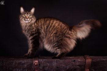 окрас табби тигровый