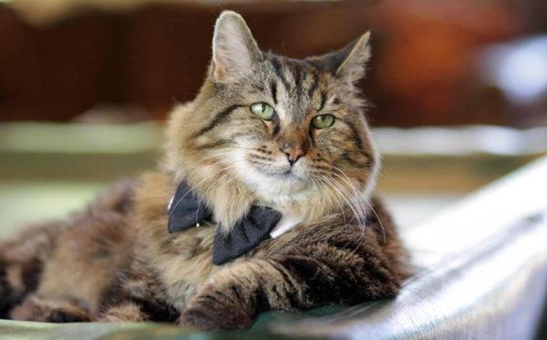 Старейший кот Вельвет