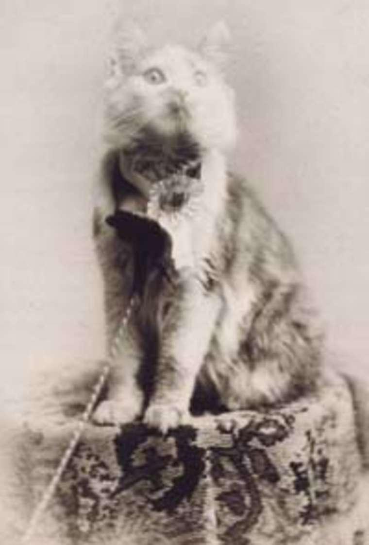 Кошка Косей, первая представительница породы